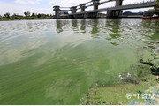 녹색으로 변한 영산강… 식수원 관리 비상