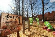 송파 은행잎 20톤 남이섬으로 이동…'은행나무길' 조성