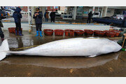 포항 앞바다서 잡힌 5m30cm 밍크고래 3700만원에 판매