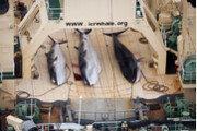 고래고기 먹으려고…日, 국제포경위원서 탈퇴 방침