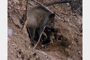 60대, 멧돼지에 물려 사망…산에 나무하러 갔다가 참변