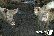 """""""돼지가 사람 잡아 먹었다""""…러시아女 의문사"""