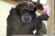 침팬지들, 나뭇가지로 사닥다리 만들어 우리 탈출…스스로 귀가