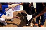 사료비 급등에 짐이 된 소…유기우에 골치 앓는 인도