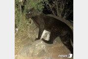 110년만에 나타났다…'블랙팬서' 아프리카 흑표범