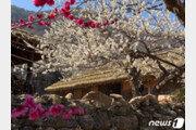 매화축제 한창인데 벚꽃은 잠잠…왜 그럴까