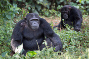 침팬지 사회의 정치학, 美 대선에서도 통했다