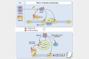 유전자 손상 인지해 복구하는 '펠리노' 단백질 작용 규명