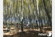 대나무숲 건강 피톤치드 1일 평균 3.1μg…편백숲 못지 않다