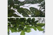 잎에 구멍이 송송… '벚나무 감염병' 치료제 자연에서 찾았다