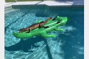 집 수영장에 악어 모양 튜브 띄워놨더니…'진짜' 악어가 떠억