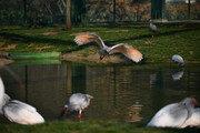 멸종 40년 만에 다시 날아오르는 '따오기'…22일 우포늪서 자연방사