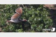 우포늪 따오기 자연 방사…한반도 평화의 염원 담아 날다