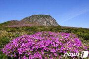 '분홍빛 융단' 한라산 산철쭉 개화…다음달 중순 절정