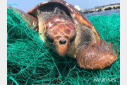 제주 하도리 해안가서 탈진한 붉은 바다거북 발견