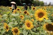 [퇴근길 한 컷] '만개한 노란 해바라기' 꽃길 지나는 시민들