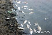 구미·칠곡 낙동강 합류지점서 물고기 수백마리 떼죽음