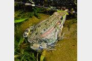 멸종위기 2급 금개구리 대량 증식 성공
