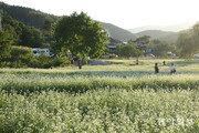 봉평 메밀꽃 축제[바람개비]