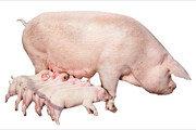 中 '돼지고기 품귀현상' 서민경제 강타