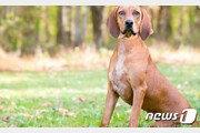 다정한 쿤하운드가?…美 60대 여성 키우던 개에 물려 숨져
