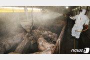발병 100년 '아프리카돼지열병'…아직 치료제 없는 이유는