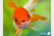 물고기도 똑같이 통증을 느낀다…상처 문지르고 과호흡도