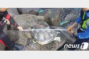 서귀포해안서 '멸종위기' 푸른바다 거북 사체 발견