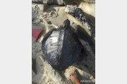 기름 뒤집어쓴 거북이…브라질 해안에 원유 100t 유출