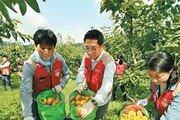 단감 수확 지원 봉사
