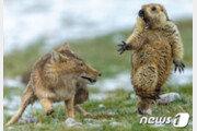 '여우에 놀란 마멋' 찍은 中 사진가, '올해의 야생동물 사진가상' 수상