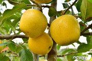 사과는 붉다?…노란 껍질 장성 '황금사과' 올해 첫 수확