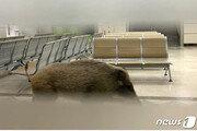 도심 멧돼지 소동…서울에선 한강 헤엄, 대구선 병원들어가