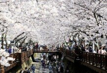 전국 완연한 봄, 서울 '여의도 봄꽃축제' 벌써 개막?