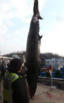 고성군 대진항 인근 해상서 4m 밍크고래 혼획