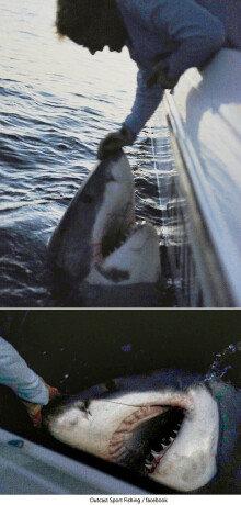 1100kg 거대 백상아리 잡은 낚시꾼, 결국 풀어줘