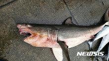 영덕서 그물에 걸린 채 발견된 상어 1마리