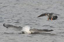 [화보] 형산강 찾아온 천연기념물 철새들