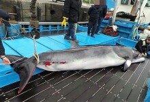 여수 앞바다서 혼획된 4.42m 밍크고래