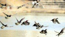 꽃샘 추위속 원앙가족들의 힘찬 날갯짓
