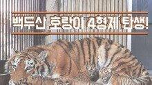 백두산 호랑이 4형제 탄생!