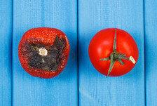 물러터지지 않는 토마토가 실패한 이유