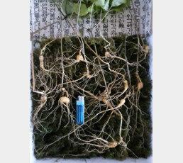조상 묘 벌초하던 40대, 1억 원 대 천종산삼 12뿌리 발견