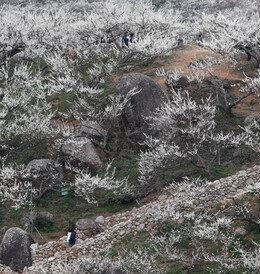 매화. 섬진강 꽃 나리다.