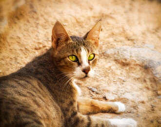 사막에서 왔습니다. 아라비안 고양이, 아라비안 마우