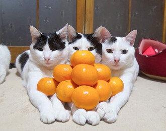 고양이와 귤이 만나면... 냥이와 귤로 만든 피라미드?!