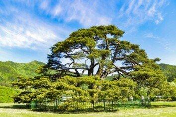 [청계천 옆 사진관]사진작가 김규종의 두 번째 소나무 이야기