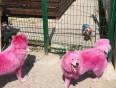 핑크색으로 염색된 강아지들… 쓸모없게 되자 버려져