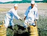 충남 태안 낭금갯벌에서 50년 만에 복원