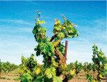 미국 국가대표 와인 진판델  태생은 유럽, 미국이 키우고 만든 맛